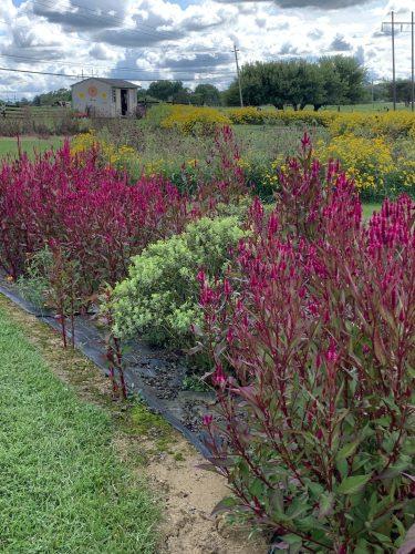 Red wildflowers, Pebble Hall Wildflowers, Weyers Cave VA