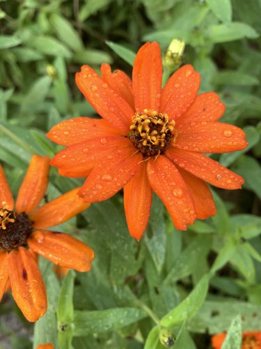 orange petals with raindrops, UT Gardens