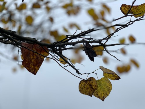 Branch with fall leaves, Knoxville, TN