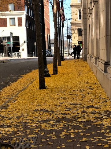 Ginkgo leaves, downtown Knoxville TN
