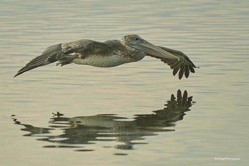 Brown pelican in flight by Bill Angell, Huntington Beach State Park, SC