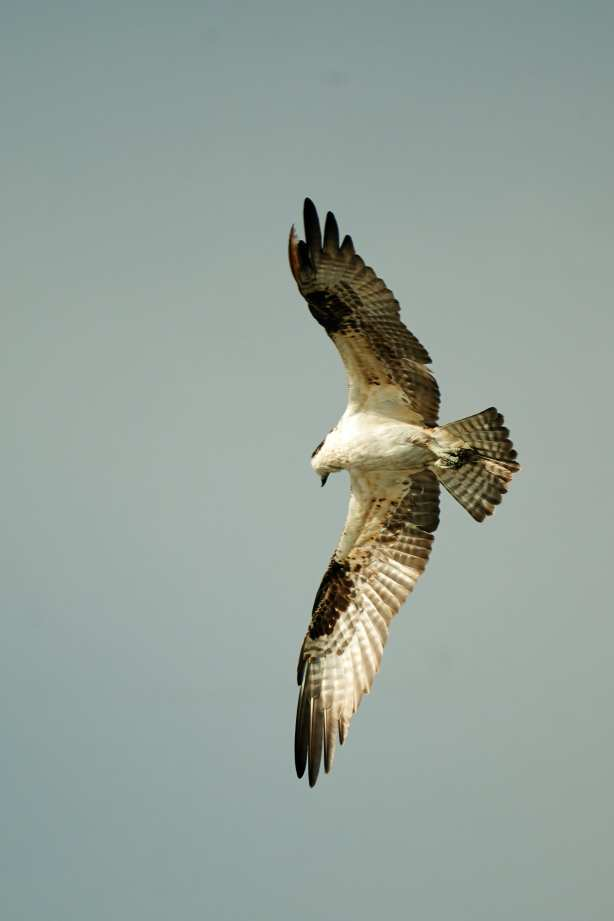 Osprey at Huntington Beach State Park, Bill Angell Photography