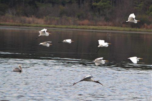 Birds in flight, Huntington Beach State Park, SC
