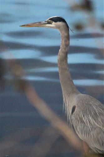 Gray heron at Huntington