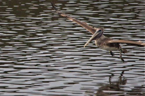 Pelican in flight, Huntington State park, SC