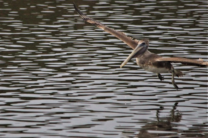 Pelican in flight, Huntington State park, SC