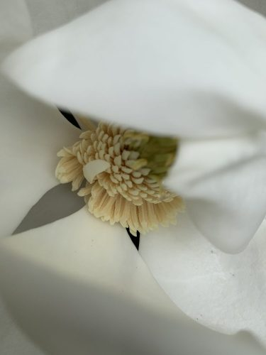 Southern Magnolia barely open
