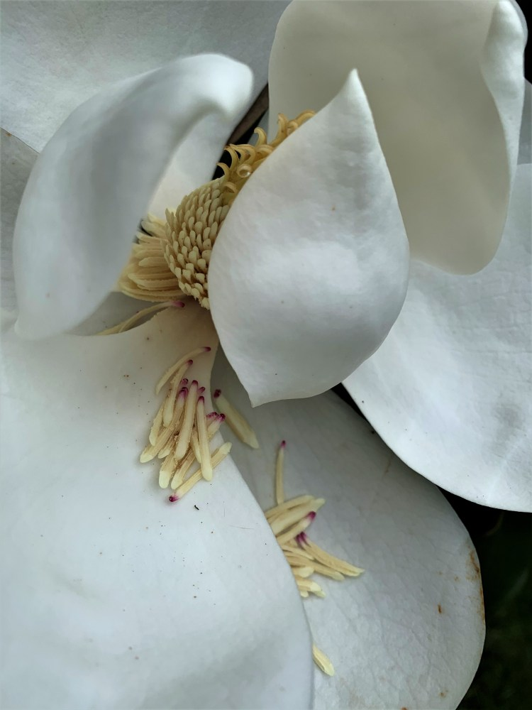 Southern Magnolia spilling