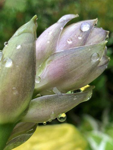 raindrops on budding flower