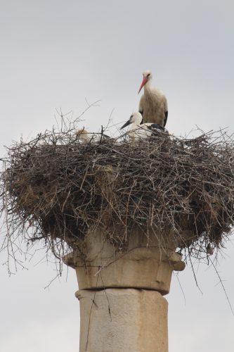 Storks -- Volubilis, Morocco
