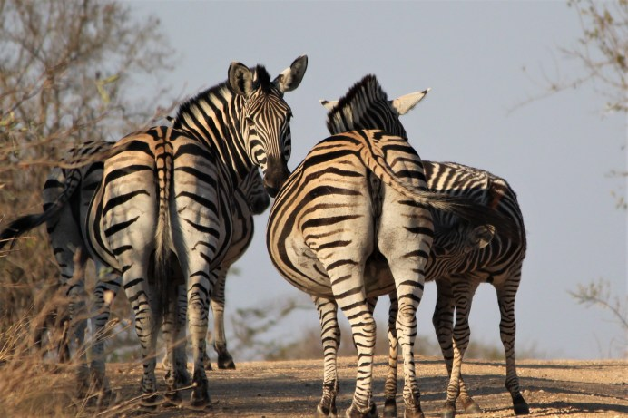 Zebras on watch, Thornybush Game Reserve, S. Africa