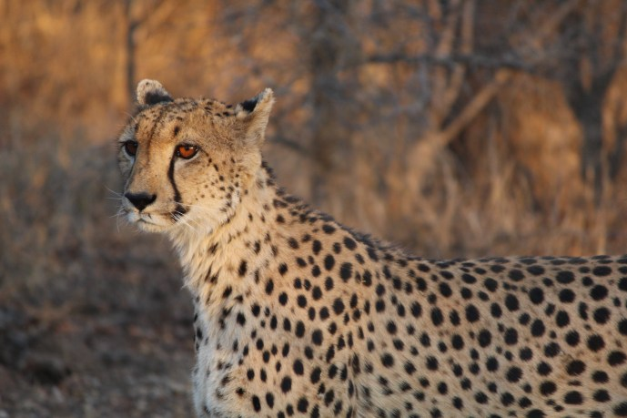 Cheetah watching for prey, Thornybush Game Reserve, S. Africa