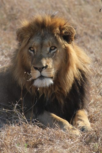 Aroused lion, Thornybush Game Reserve, S. Africa