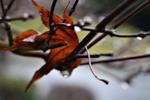Red leaf on rainy branch, Knoxville TN