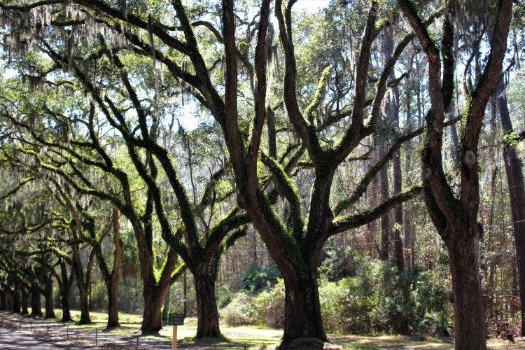 Tree-lined street, Wormsloe Historic Site, GA