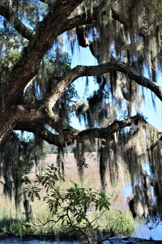 Wormsloe Historic Site, GA: tree with moss