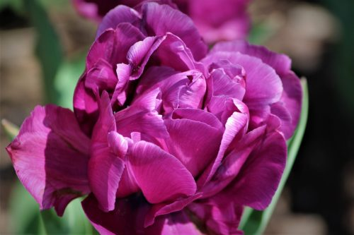 Purple Tulip, Double