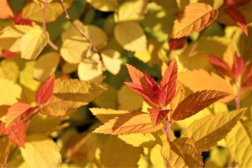 Spirea japonica: Japanese meadowsweet, UT Gardens, Knoxville