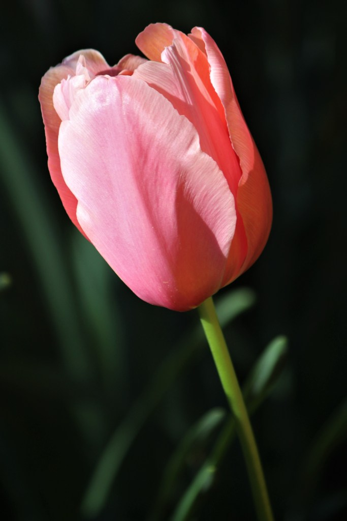 Pink tulip, dark background, UT Gardens, Knoxville
