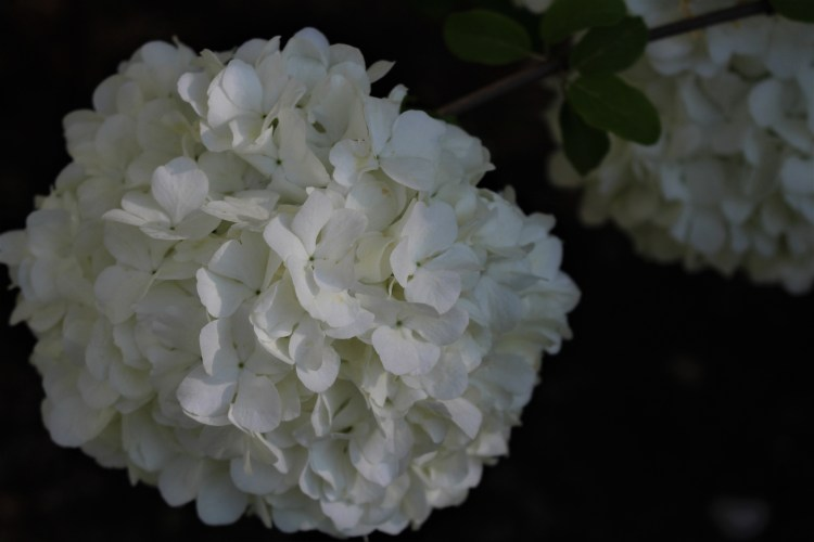White snowball hydrangea, UT Gardens, Knoxville