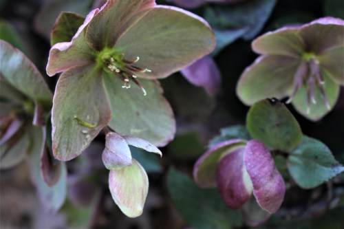 Helleborus, Ivory Prince - UT Gardens, Knoxville