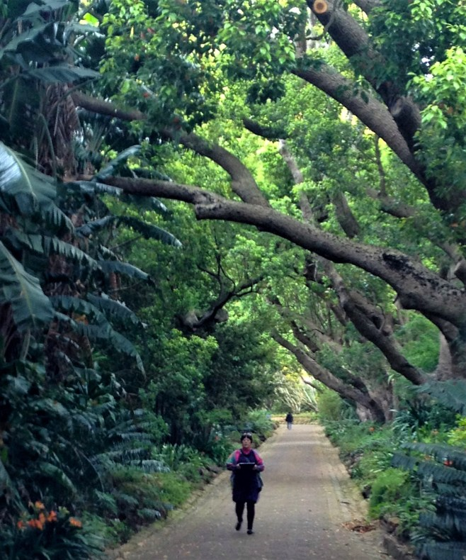 Walking under the trees at Kirstenbosch Botanical Gardens, Cape Town, S. Africa