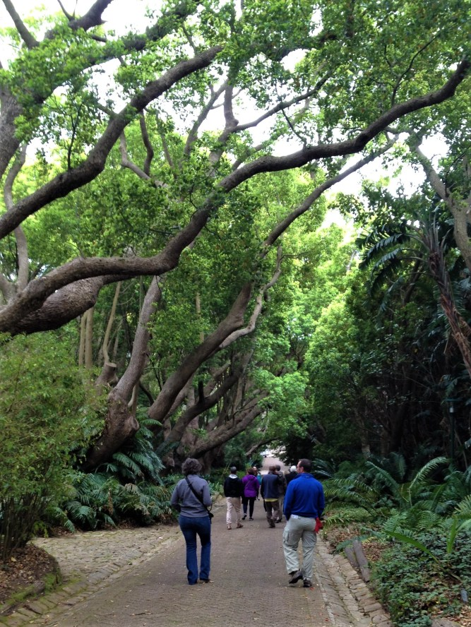 Camphor Tree Avenue, Kirstenbosch Botanical Gardens, Cape Town, S. Africa