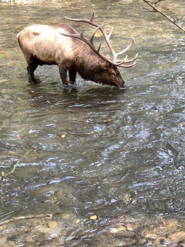 Elk in stream at Oconaluftee Visitor Center, Cherokee NC