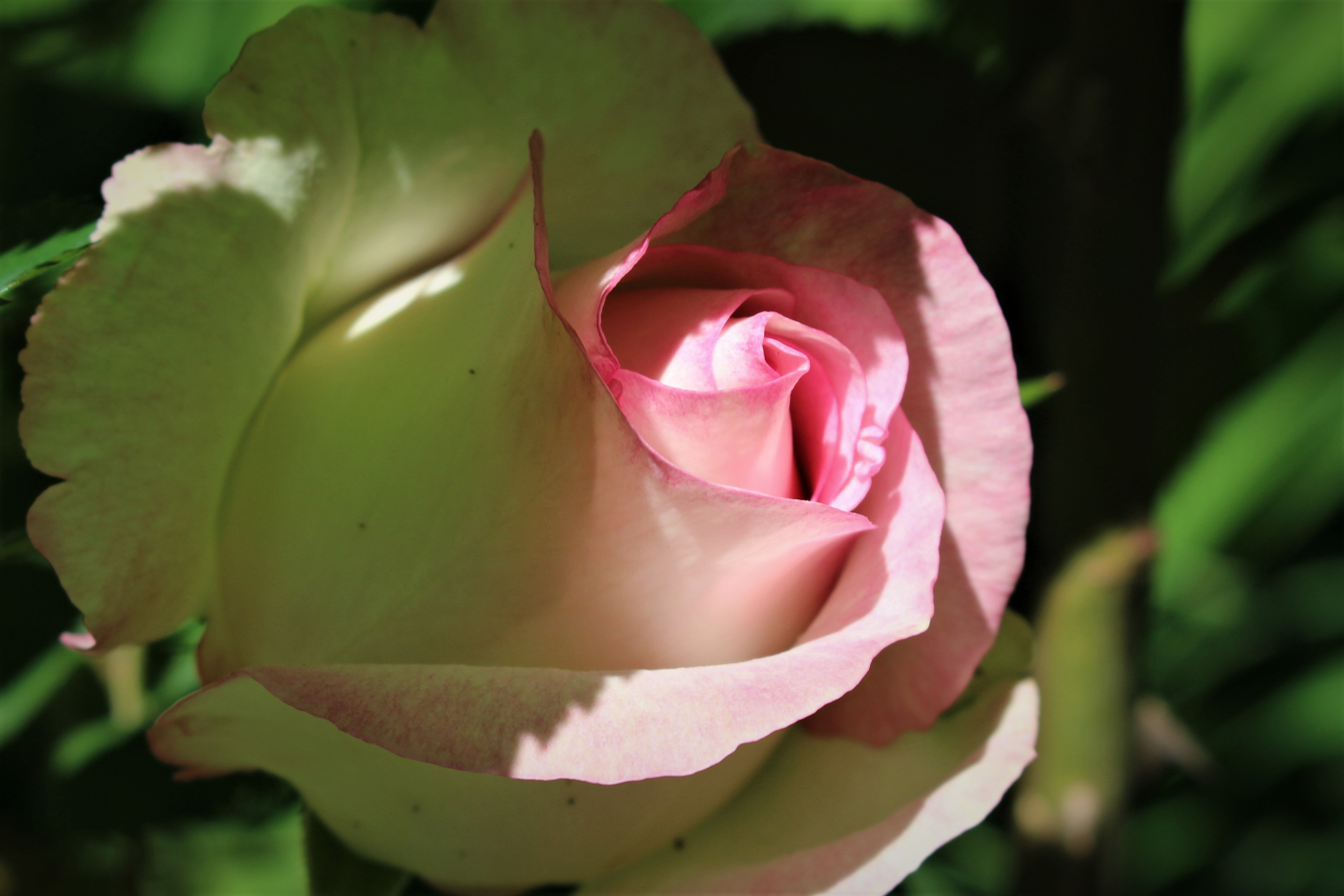 Pink rose, morning sun - Knoxville, TN