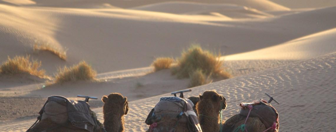 Camels waiting for caravan time, Sahara Desert, Morocco