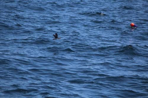 Maine New Harbor puffin in flight