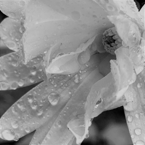 White Star White Magnolia in rain