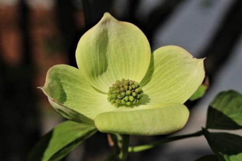 Dogwood petals in fresh green