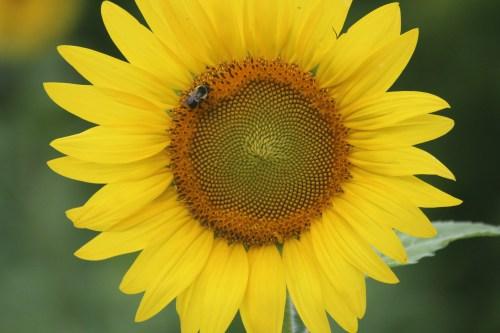 Single sunflower with bee