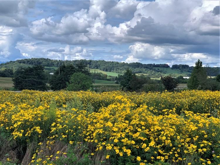 Yellow fields near Staunton VA