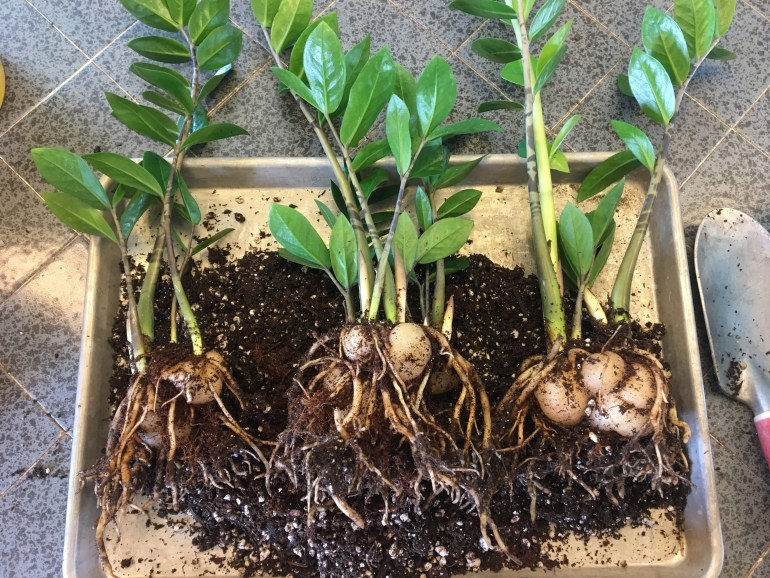 Zz Plant Roots