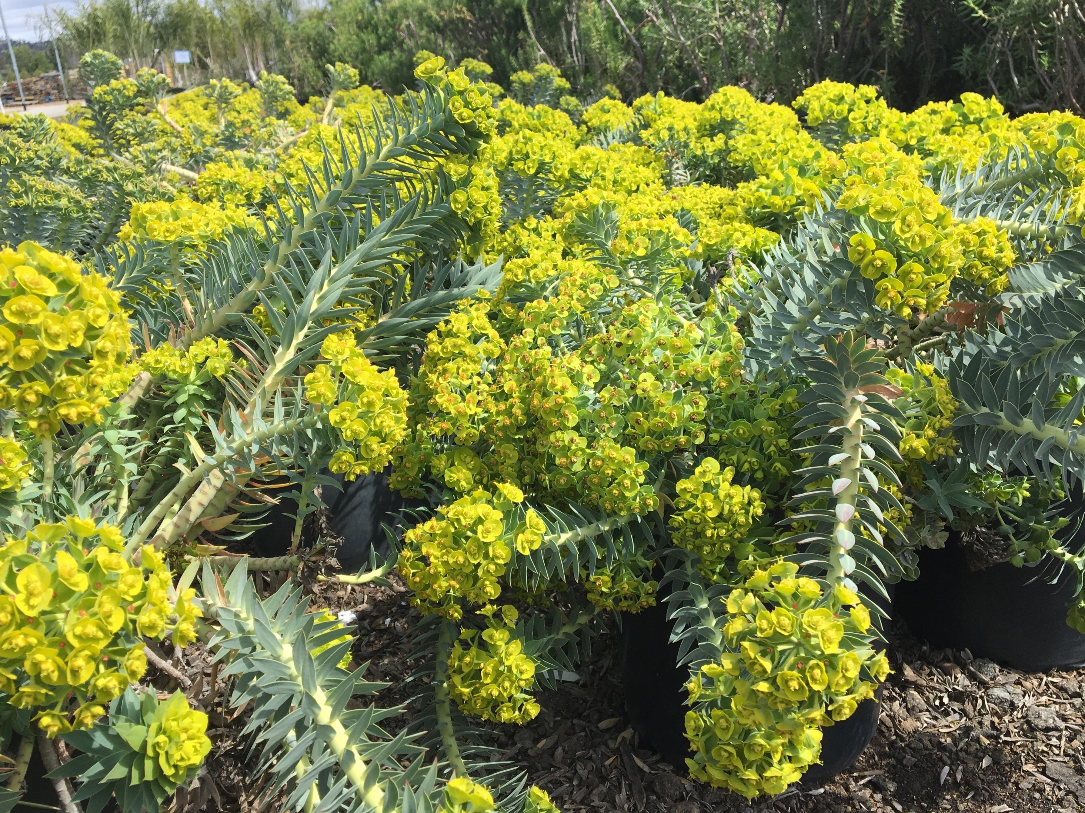 Gopher Spurge Euphorbia Rigida Oh The Places You Ll Grow