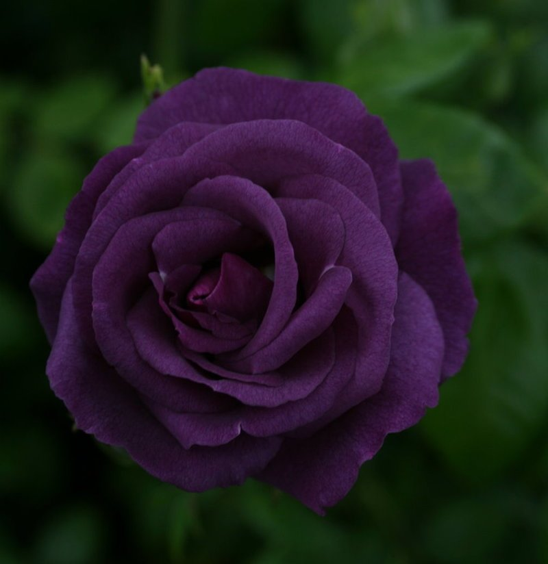 Purple images Purple Roses wallpaper and background photos (21933066)