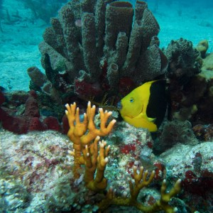 Reef Butterfly fish with Aquanauts Dive Adventures