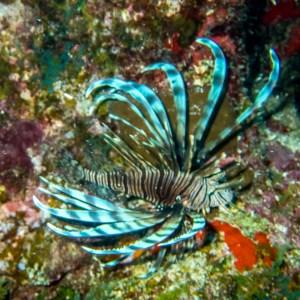 Lion fish with Aquanauts Dive Adventures