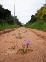 Miniature iris, Spain