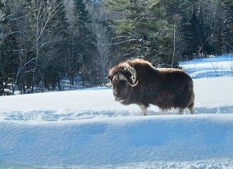 O imponente boi almiscarado ou musk ox.