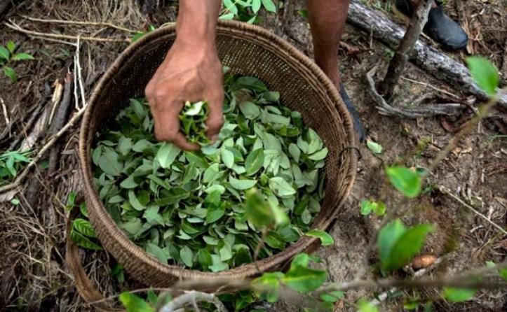 hojas de coca.jpg