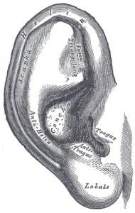 Ear from Gray's Anatomy (1918)
