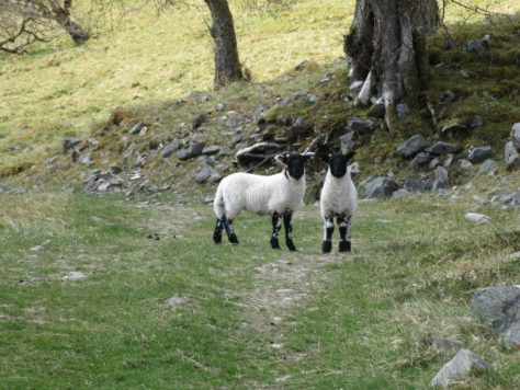Lambs in the Sean-bhaile Wood, Glen Tilt