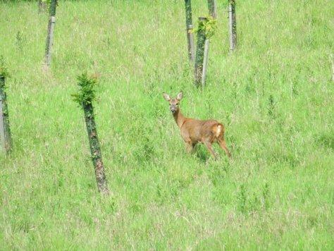 Red Deer, Strath Avon