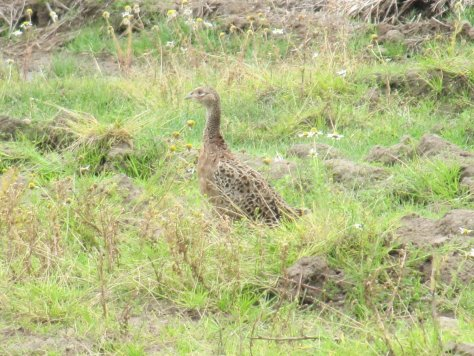 Young pheasant