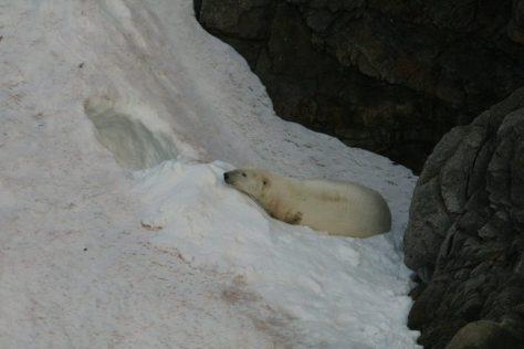 Polar bear on snow, Herald Island