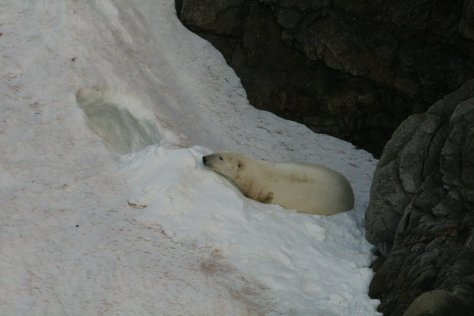Polar bear on snow, Herald Island