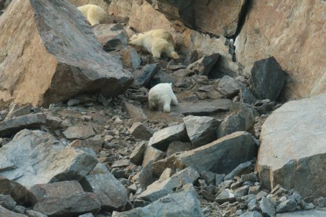 Polar bears on scree, Herald Island